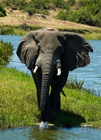 A lone bull elephant, who wasn't very pleased to see us!
