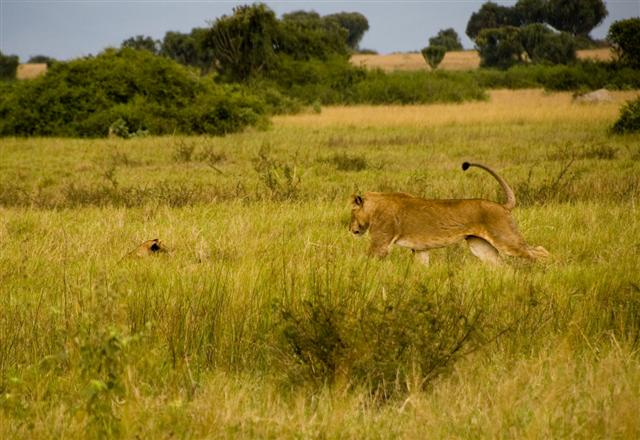 And at the end we just managed to spot these lions playing!